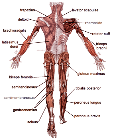 muscle diagrams of major muscles exercised in weight training  : muscle groups diagram - findchart.co