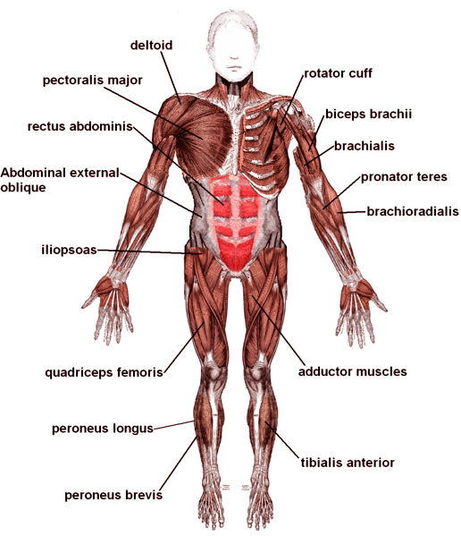 muscle diagrams of major muscles exercised in weight training,