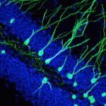 creation of new neurons while fasting